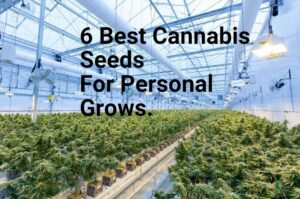6 Best Cannabis Seeds For Personal Grows